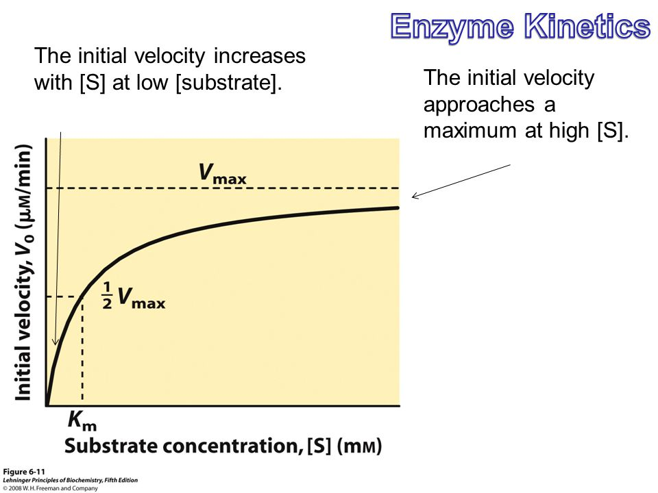 Enzyme Kinetics The initial velocity increases with [S] at low [substrate]. The initial velocity approaches a maximum at high [S].